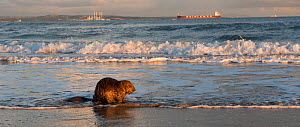 Beaver (Castor fiber) on beach, Camargue, France, November.  -  Jean E. Roche