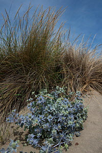 Thistles (Carduus maritimus) growing in sand dunes, Camargue, France, July. - Jean E. Roche