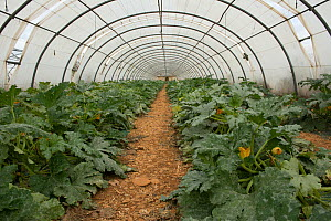 Polytunnel with courgettes growing, Cidamos gardens, Alpilles, France, October 2012.  -  Jean E. Roche