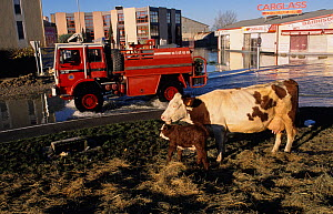 Cow on roundabout in Arles during December 2003 flood, Camargue, France. - Jean E. Roche