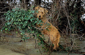 Bedraggled dog keeping out of flood waters in branches, Arles during December 2003 flood, Camargue, France. - Jean E. Roche
