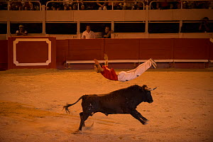 Man leaping over bull in European Bullfighting Championship 2012, Arenes d'Arles, Camargue, France, September 2012.  -  Jean E. Roche