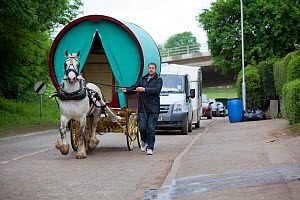 Shire horse pulling a bow top wagon, Appleby, Yorkshire, UK - Tom  Gilks