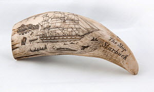 Whale tooth scrimshaw etched with whaling ship hunting and inscribed with 'The Ship Starbuck' (probably a replica).  -  Tom  Gilks