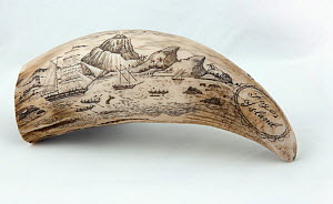 Whale tooth scrimshaw etched with whaling ships hunting and a volcano erupting on Fogos island, Cape Verde (probably a replica)  -  Tom  Gilks