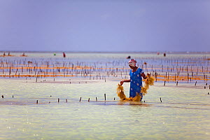 Woman at low tide harvesting seaweed (eucheuma spinosum) Matemwe, Zanzibar, Tanzania  -  Tom  Gilks