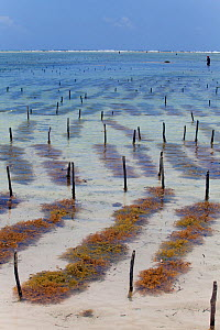 Seaweed cultivation, Matemwe, Zanzibar  -  Tom  Gilks