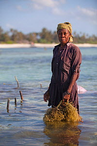 Zanzibari woman at low tide with harvested seaweed (eucheuma spinosum) Matemwe, Zanzibar, Tanzania  -  Tom  Gilks