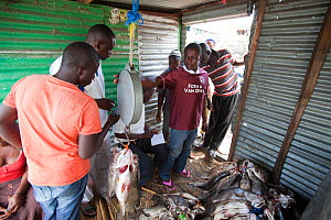 Fishermen weighing and trading Nile Perch (Lates niloticus) for export, Remba Island, Lake Victoria, Kenya. - Tom  Gilks