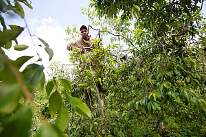 Man climbing and harvesting Khat tree (catha edulis) Meru, Kenya - Tom  Gilks