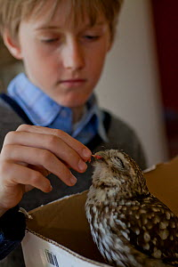Boy feeding a Little owl (Athene noctua) chick hit by a car, France, May 2013. Model released.  -  Pascal  Tordeux