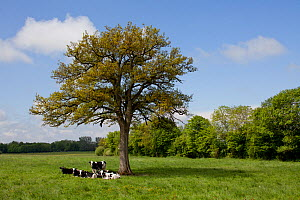 Group of young domestic Holstein cattle (Bos taurus) resting underneath an oak tree, Thi�rache, France, May 2013. - Pascal  Tordeux