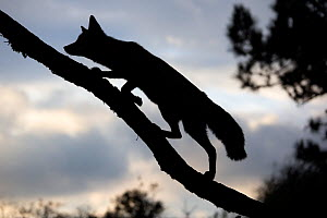 Silhouette of a Red fox (Vulpes vulpes) walking up a branch of a fallen tree, The Netherlands, August. - David  Pattyn