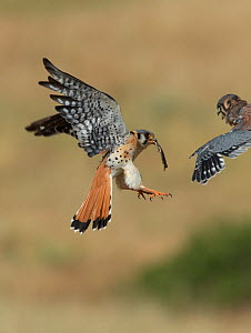 Male American kestrel (Falco sparverius) landing at nest with lizard prey, with a chick leaning out and begging for food, Colorado, USA, July  -  Charlie  Summers