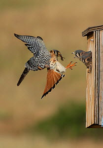 Male American kestrel (Falco sparverius) landing at nest box with grasshopper prey, with a chick leaning out and begging for food, Colorado, USA, July  -  Charlie  Summers