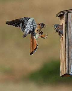 Male American kestrel (Falco sparverius) landing at nest box with lizard prey, with a chick leaning out and begging for food, Colorado, USA, July  -  Charlie  Summers