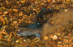Three male Arctic graylings (Thymallus arcticus) displaying to  a female, the males vibrate their tails to kick up a fine stream bottom silt, the female ejects roe and the males eject milt into this s...  -  Charlie  Summers