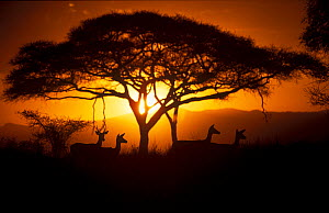 Herd of Impala (Aepyceros melampus) silhouetted at sunset, Ngorongoro Conservation Area, Tanzania. - Juan  Carlos Munoz