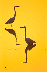 Two Great egrets (Ardea alba) wading,  silhouetted at dawn, Keoladeo National Park, Bharatpur, Rajasthan, India.  -  Juan  Carlos Munoz