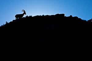 Walia ibex (Capra walie) silhouetted against the sky, Simien Mountains, Ethiopia. - Juan  Carlos Munoz
