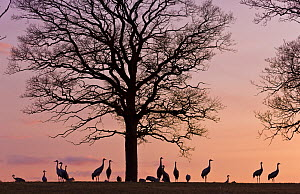 Flock of Common cranes (Grus grus) silhouetted at dusk, Hornborga, Sweden, April. - Juan  Carlos Munoz