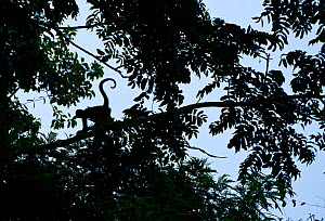 Geoffroy's spider monkey (Ateles geoffroy) silhouetted in a tree, Tortuguero National Park, Costa Rica.  -  Juan  Carlos Munoz