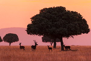 Small group of  Red deer (Cervus elaphus) silhouetted at sunrise, Caba�eros National Park, Castile-La Mancha, Spain, September. - Juan  Carlos Munoz