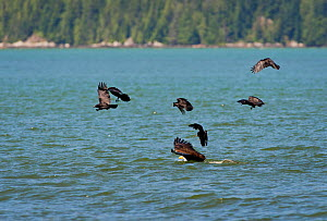 Bald eagle (Haliaeetus leucocephalus) with a Mew gull in its talons,  diving down to the surface of the ocean, surrounded by Northwestern crows (Corvus caurinus) Knight Inlet, Vancouver Island, Britis...  -  Cheryl-Samantha  Owen