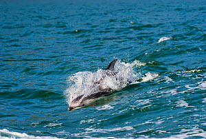 Pacific white-sided dolphins (Lagenorhynchus obliquidens) porpoising, Knight Inlet, East coast, British Columbia, Canada, July.  -  Cheryl-Samantha  Owen