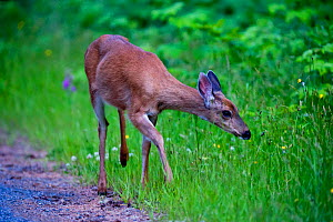 Blacktail deer (Odocoileus hemionus) near Port Renfrew, Vancouver Island, British Columbia, Canada, July. - Cheryl-Samantha  Owen