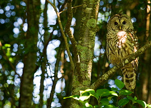 Barred owl (Strix varia) in the forest near Botanical Beach, Port Renfrew, Vancouver Island, British Columbia, Canada, July. - Cheryl-Samantha  Owen