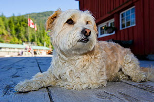 West highland white terrier lying near the jetty at Telegraph Cove, Vancouver Island, Canada, - Cheryl-Samantha  Owen