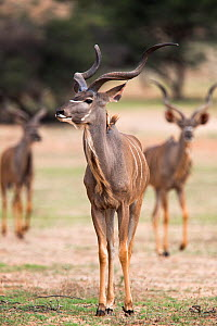 Greater kudu (Tragelaphus strepsiceros), Kgalagadi Transfrontier Park, South Africa, January. - Ann & Steve Toon