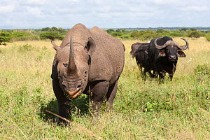 Male Black rhinoceros (Diceros bicornis), with African buffalo (Syncerus caffer) in the background, Phinda Private Game Reserve, Kwazulu Natal, South Africa, February. - Ann & Steve Toon