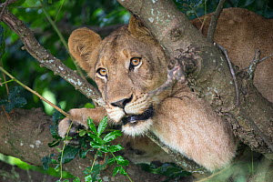 African lioness (Panthera leo) in a tree, Phinda Private Game Reserve, South Africa , February. - Ann & Steve Toon