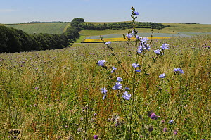Chicory (Cichorium intybus) flowering among Nodding / Musk thistles (Carduus nutans) in a fallow field with a tree belt and a flowering Linseed crop (Linum usitatissimum) in the background, Marlboroug... - Nick Upton