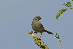 Dunnock (Prunella modularis) perched on a lichen encrusted dead branch in farmland, Marlborough Downs, Wiltshire, UK, July.  -  Nick Upton