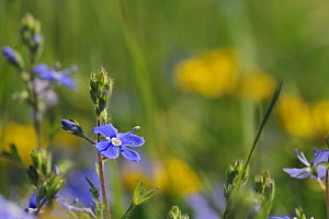 Germander speedwell (Veronica chamaedrys) flowering in a chalk grassland meadow, with defocused Horsehoe vetch flowers (Hippocrepis comosa) in the background, Wiltshire, UK, May. - Nick Upton
