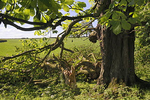 Horse Chestnut tree (Aesculus hippocastanum) with major branch broken off during a storm, Wiltshire, UK, May.  -  Nick Upton