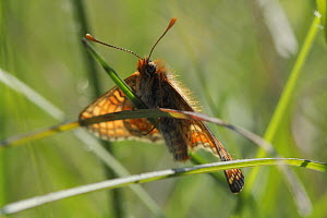 Marsh fritillary butterfly (Euphydryas aurinia) basking on a grass blade in a chalk grassland meadow, Wiltshire, UK, May. - Nick Upton