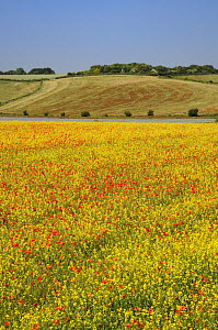 Common poppies (Papaver rhoeas) flowering among a field of Oilseed rape (Brassica napus), with a flowering Linseed crop (Linum usitatissimum) and woodland in the background, Marlborough Downs farmland...  -  Nick Upton