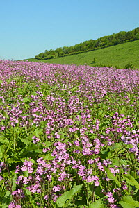 Red campion (Silene dioica) flowering in a pollen and nectar flower patch in farmland, Marlborough Downs, Wiltshire, UK, June.  -  Nick Upton