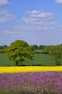 Red campion (Silene dioica) flowering in a pollen and nectar flower mix strip bordering a field of flowering Oilseed rape (Brassica napus), with Oak tree (Quercus robur) in the background, Marlborough...  -  Nick Upton