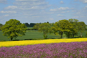 Red campion (Silene dioica) flowering in a pollen and nectar flower mix strip bordering a field of flowering Oilseed rape (Brassica napus), with trees in the background, Marlborough Downs, Wiltshire,...  -  Nick Upton