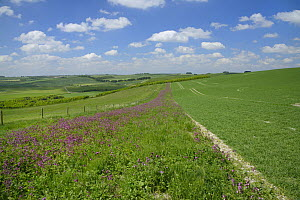 Red campion (Silene dioica) flowering in a pollen and nectar flower mix strip bordering a Barley field, with Sheep (Ovis aries) grazing pastureland nearby, Marlborough Downs, Wiltshire, UK, June.  -  Nick Upton