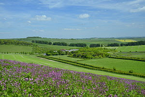 Red campion (Silene dioica) flowering in a pollen and nectar flower mix strip bordering a young Linseed crop (Linum usitatissimum), with grazing Horses (Equus caballus), farm buildings, arable crops a...  -  Nick Upton
