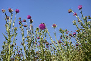 Low angle view of Nodding / Musk thistles (Carduus nutans) flowering in a fallow field, Marlborough Downs farmland, Wiltshire, UK, July. - Nick Upton