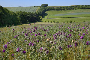 Nodding / Musk thistles (Carduus nutans) flowering in a fallow field with a tree belt and a flowering Linseed crop (Linum usitatissimum) in the background, Marlborough Downs farmland, Wiltshire, UK, J... - Nick Upton