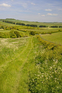 Farmland meadow with flowering Common Hogweed (Heracleum sphondylium) and pastureland grazing for horses and sheep, arable crops, tree belts and the Ridgeway in the background, Marlborough Downs, Wilt... - Nick Upton