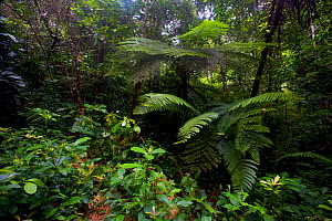 Tree fern (Cyathea manniana) in the Atewa forest reserve, Ghana.  -  Bert  Willaert